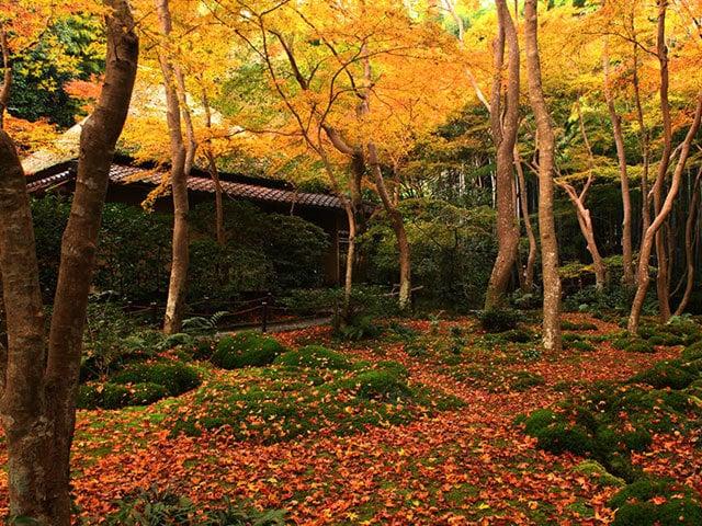 祇王寺の苔むした庭に映える 黄や赤に色づいた葉が織りなす美しさ